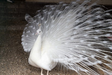 White Peacock With A Loose Tail