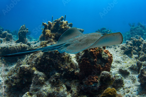 Fotografie, Obraz  Southern Stingray flying over a reef in the Caribbean