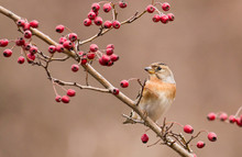 Brambling Sitting On Stick And Eat Berries