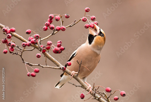 Obraz na plátně Hawfinch bird sit on stick and eat berries