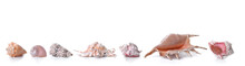 Beautiful Collection Of   Seashells In Line   On White Background And Panoramic Size