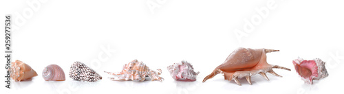 Fototapeta beautiful collection of   seashells in line   on white background and panoramic size obraz