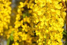 Golden Shower (Cassia Fistula) National Flower Of Thailand.