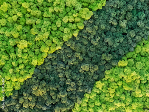 Fototapeta creative idea for background of green stabilized moss