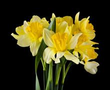 Yellow Daffodil Flowers On A B...