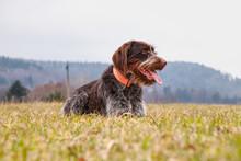 Dog (Hound - Bohemian Wire Hai...