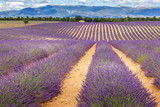 Lavender field - 259298778