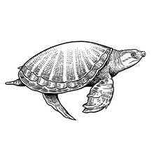 Animal Of Underwater World. Indian Pig-nosed Turtle Isolated. Black And White Reptile Vector Illustration.