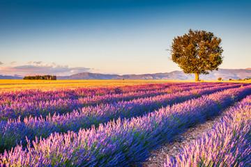 Obraz na Szkle Lawenda Valensole, Provence in France