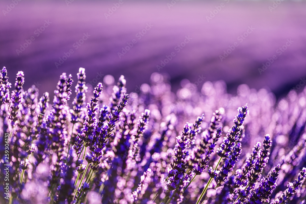 Fototapety, obrazy: Valensole lavender in Provence, France