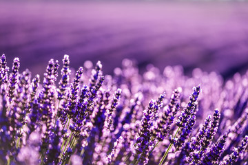 Fototapeta Lawenda Valensole lavender in Provence, France