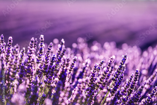 Photo sur Toile Lavande Valensole lavender in Provence, France