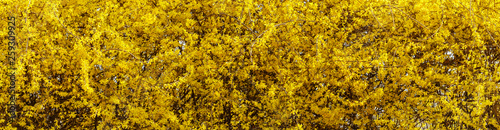 Fotografie, Tablou Forsythia, Panorama yellow flowers background image