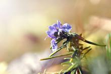 Il Fiore Del Rosmarino
