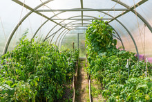 Inside Plastic Covered Horticulture Greenhouse