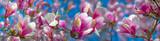 Fototapeta Kwiaty - pink magnolia flowers on a flowering magnolia tree