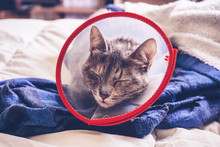 Gray Cat Wearing A Protective Collar At Home After A Surgery