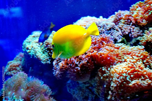 Foto op Aluminium Onder water Zebrasoma is a genus of surgeonfishes native to the Indian and Pacific Oceans. They have disc-shaped bodies and sail-like fins