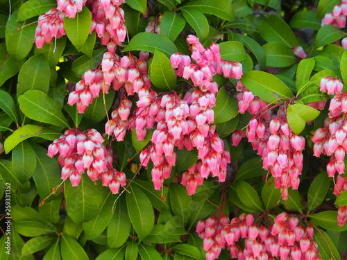 Cuadros en Lienzo 馬酔木の花
