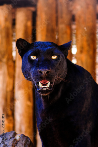 Poster Panther beautiful black panther