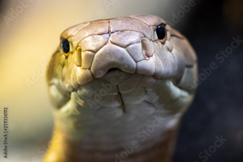 Photo  King cobra (Ophiophagus hannah)