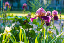 Beautiful Irises Flowers In Natural Environment