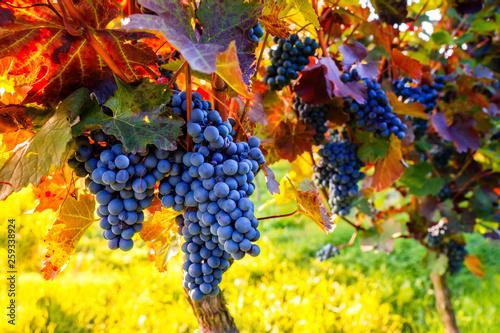 Door stickers Yellow Weinstock zur Weinlese im Herbst