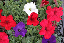 Petunias,colorful Petunia Flow...