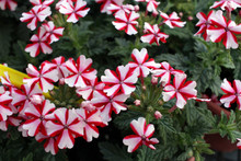 Verbena Flowers In Red And White Color Garden (Verbena Hybrida). Verbenas. Floral Pattern. Spring And Summer Verbena Flowers Background Texture.