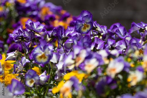 Foto auf Gartenposter Landschappen pensée bleu jaune alignée