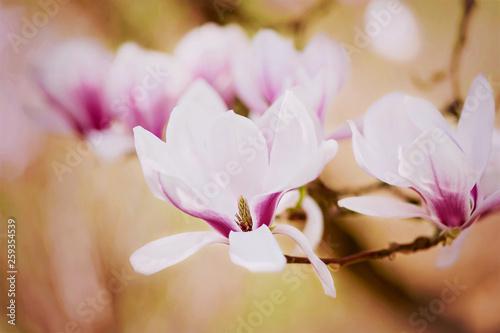 Photo  Wunderschöne Magnolienblüte im Frühling