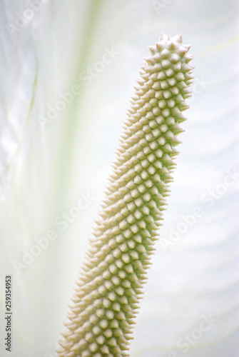 Arum, Calla, Aroid, Zantedeschieae Tablou Canvas