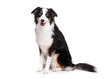 Portrait of cute young Australian Shepherd dog sitting on floor, isolated on white background. Beautiful adult Aussie, frontal and looking at camera.