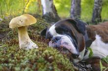 Mushroom Lust. Boxer Dog Lying Next To A Porcini Mushroom.