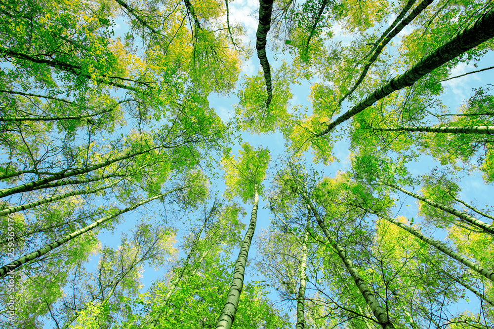 natural background bottom view of the crowns and the tops of birch trees stretch to the blue clear sky with bright green young leaves in the spring park