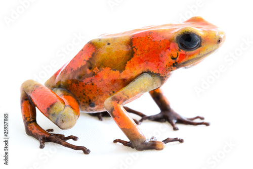 Foto op Canvas Kikker Poison dart frog, Oophaga histrionica. A small poisonous animal from the rain forest of Colombia.