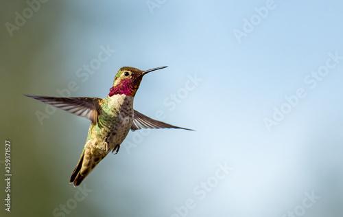 Photo  Anna's Hummingbird in Flight
