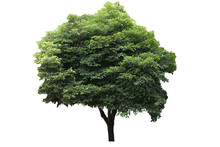 Beautiful Ornamental Tree From Thailand, Green Topiary Tree, Green Leaves Ornamental Plant, Big Bonsai, Suitable For Use In Architectural Design Or Decoration Work Isolated On White Background.