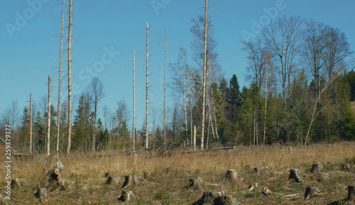 Fototapeta Spruce forests infested and attacked by the European spruce bark beetle pest Ips typographus, clear cut calamity caused by bark beetle due to global warming, influence of emissions obraz na płótnie