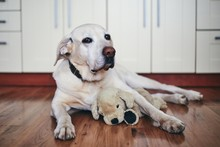 Old Dog In Home Kitchen