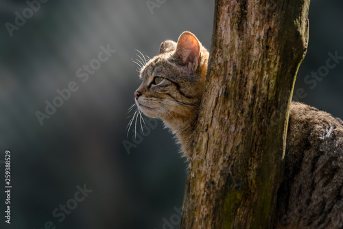 Photo  wild cat in the green season leaf forest