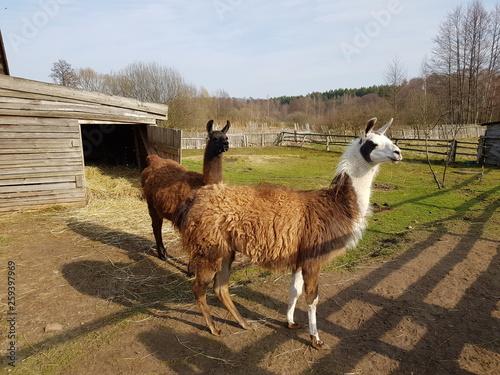 Polish lamas