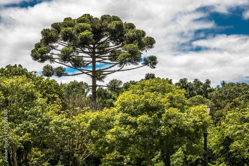 Photo Ararucaria tree in Curitiba city, on Parana state
