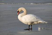 Adult White Mute Swan (Cygnus Olor) Standing On Ice In Early Spring, Belarus