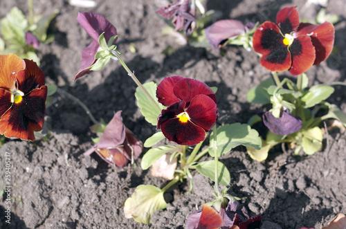 Fotografie, Obraz  Red Viola at Spring