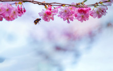 Cherry Tree Blossom And Bumblebee