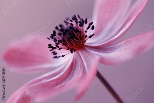 Obraz Zawilec - Anemone - fototapety do salonu