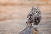 A Rescued African Spotted Owl (africanus Bubo) Perched On A Rock At A Birds Of Prey Show, South Africa
