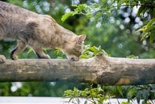 Wildkatze Auf Dem Baum Beim Klettern
