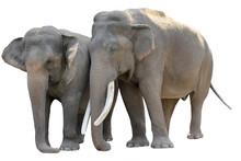 Asian Elephant (Elephas Maximus)  Isolated On White Background